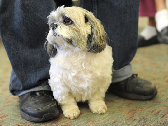Viola, a 5-year-old Shih Tzu, stands between Mike Todd's