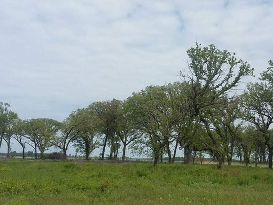 A stand of Bur oaks are  part of the prairie/wetland
