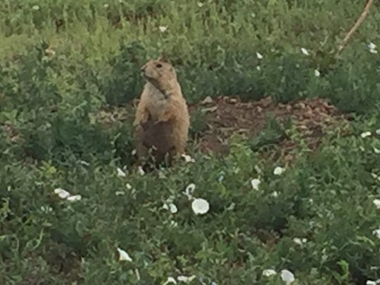 A prairie dog stands outside its burrow in Old Town North in August after exterminators hit many burrows in the area. About 200 prairie dogs were recently relocated from the subdivision to Cathy Fromme Natural Area.