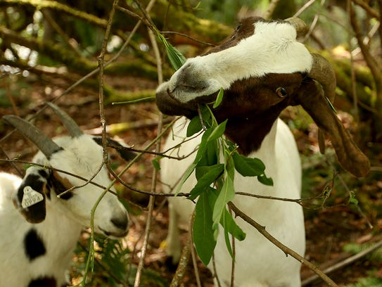 A goat from Healing Hooves munches on some leaves at Bainbridge Island's Blakely Harbor Park on Tuesday.