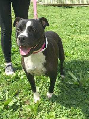 Penny is a 5-year-old pit bull mix available for adoption at Nashville Humane Association. You can meet her this week at Miranda Lambert's MuttNation booth as part of CMA Fest.