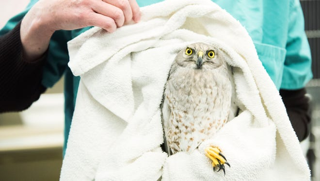This hawk was treated at the Swanson Wildlife Heath Center at Cornell University in December 2017 after it and an eagle were rescued.