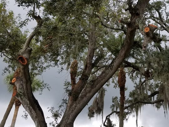 Tree with improper pruning cuts.