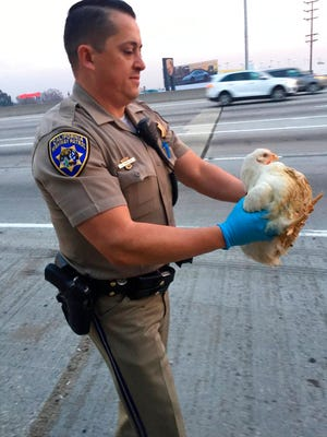 In this photo released by the California Highway Patrol, CHP officer DaSilva rescues nearly 20 chickens that ran through highway lanes in Norwalk, Calif., Tuesday, Jan. 2, 2018.