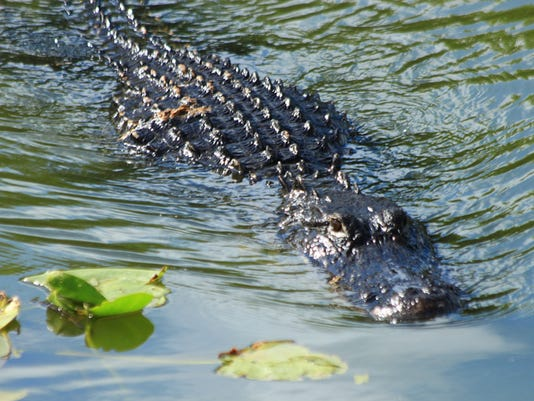 Everglades N.P. - The gator