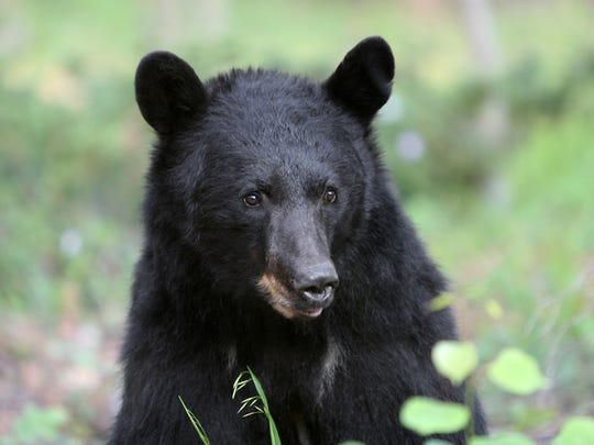 This North American Black Bear was photographed in