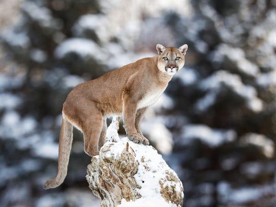 Portrait of a cougar, mountain lion, puma, panther,