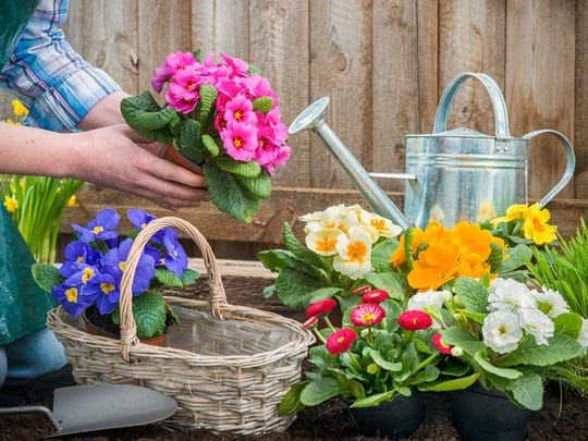 Gardeners hands planting flowers in pot with dirt or