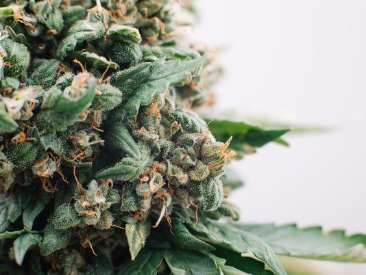 medical marijuana flowers plants