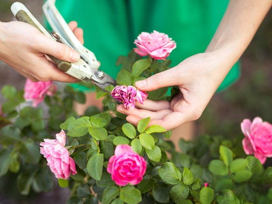Deadheading, or removing spent blooms as they fade,