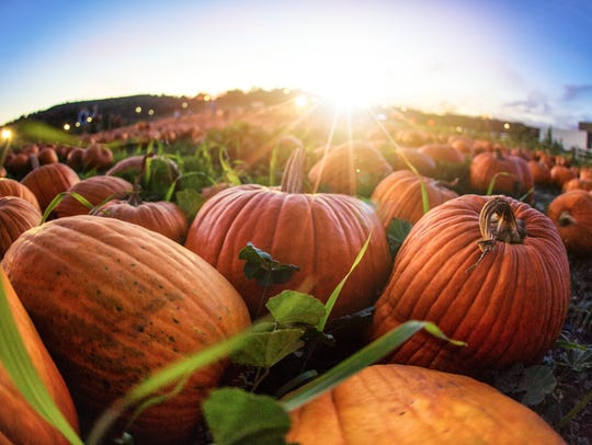 Sunset over a grassy field with hundreds of pumpkins