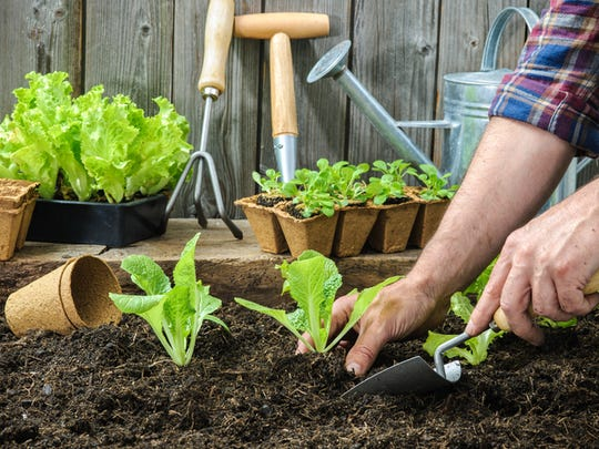 Planting young seedlings of lettuce salad in a vegetable garden.
