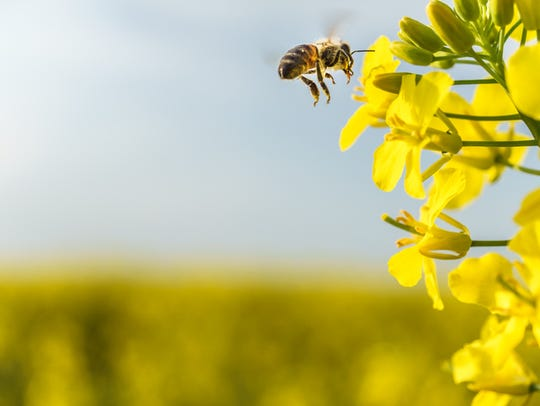 Working bee closeup flying on yellow canola field