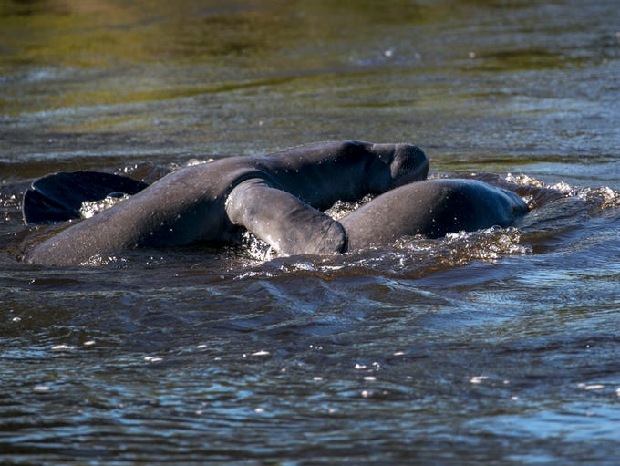 A group of manatees swim and play in the warm water
