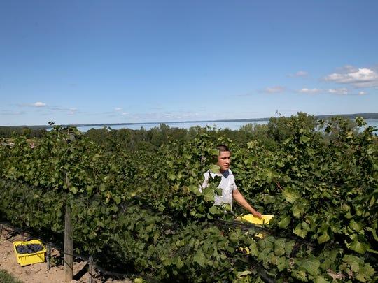 Hugo Camacho from California hand picks grapes from the vine at Toro Run Winery on Cayuga Lake.