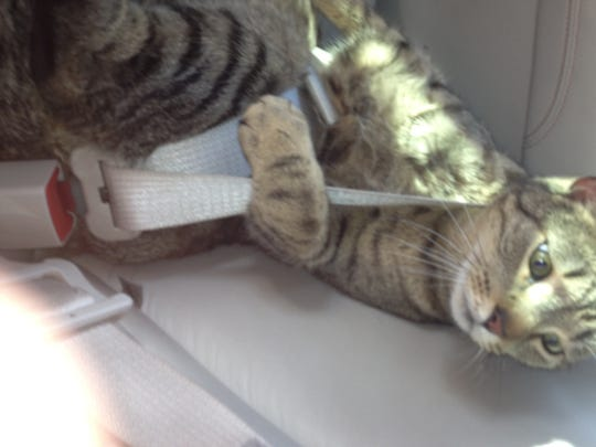 Barkley is one of a few animals in reporter Dana Benbow's clan. Here, he takes a quick car ride buckled up safely.