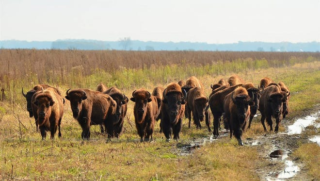 A small herd of bison was reintroduced to Indiana's prairie as part of a restoration project in Newton County.
