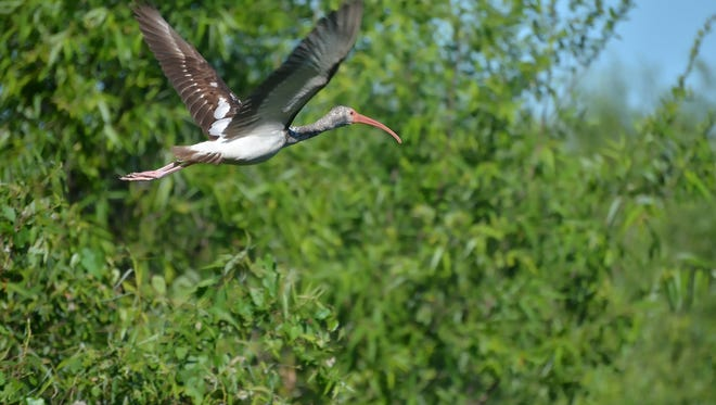 An ibis flies above Corkscrew Swamp Sanctuary, one of the major conservation areas in Southwest Florida.