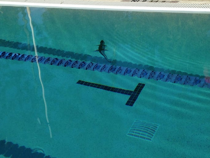 The Bonita Springs YMCA pool got an unexpected visit from a baby gator early Saturday, Aug. 9, 2014.