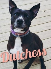 Dutchess is an adult, spayed, female pit bull terrier.