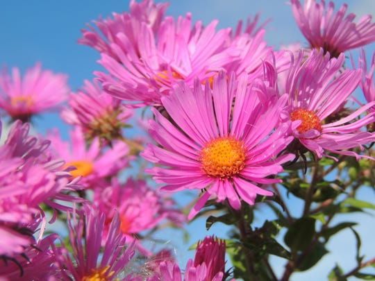 An autumn explosion of color is underway as asters in beautiful shades of purple, pink, blue and white burst into bloom.