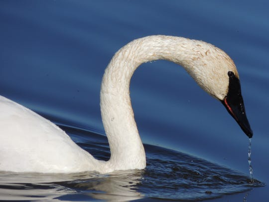 Trumpeter swans, once gone from the Wisconsin wilds,