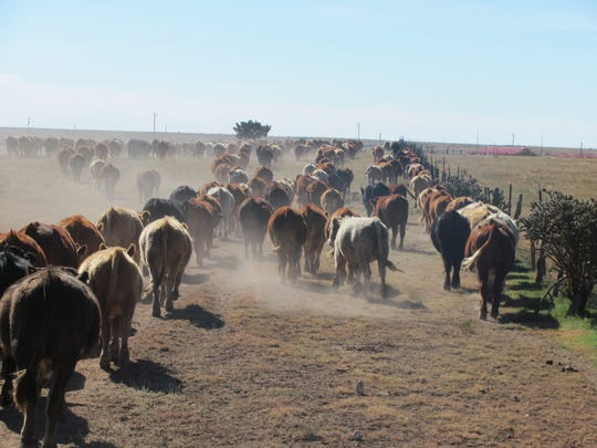 Branded cattle in New Mexico are gathered for shipping.