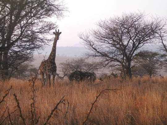 Giraffes nibble on acacia leaves on an early morning