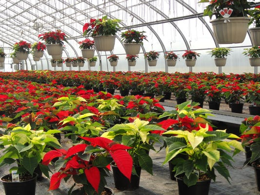 Parkside poinsettias