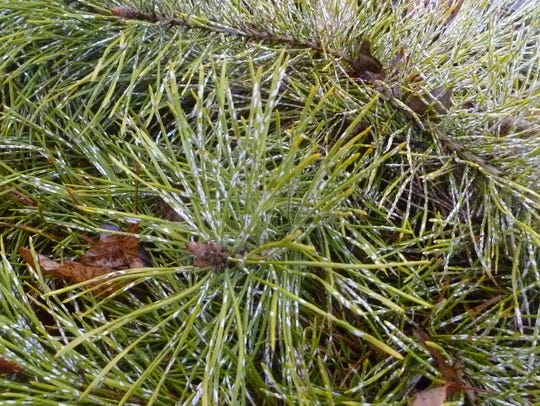 Some pines at Minnetrista were suffering from an infestation
