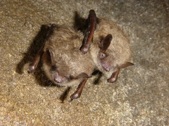The Little Brown Bat has been added to the state's Wildlife Action Plan as a species of greatest conservation need due to its decline from white nose syndrome.
