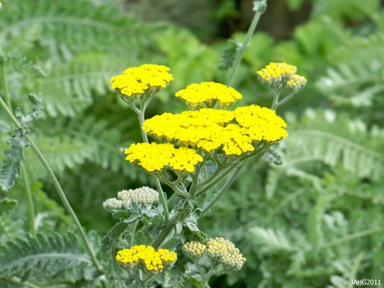 Achillea mil 'Moonshine' - Forms 18 to 24 inch wide clumps of gray-green foliage. In late spring through early fall bright yellow flower heads rise on straight stalks 18 to 24 inches above the foliage.