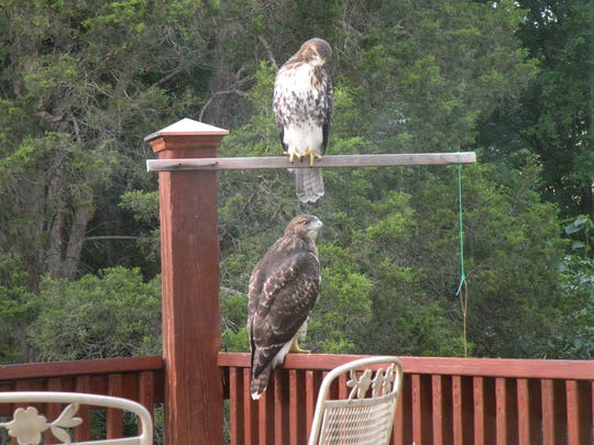 Two juvenile red-tailed hawks visit the deck of a home in the Benington subdivision in West Knox County.