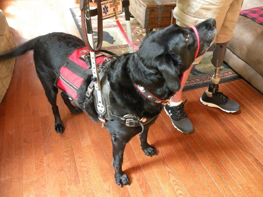 Lucy, a black Labrador retriever, is capable of supporting the weight of her owner.