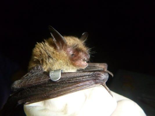 636449755691391548-Bats-northernlongeared-NCWRC.JPG