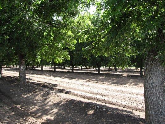 636465377492433626-pecan-trees.JPG