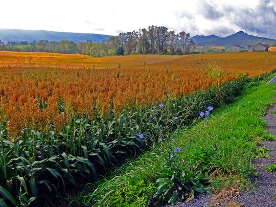 A sorghum field at Great Cove near McConnellsburg,