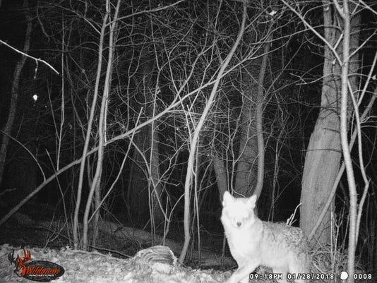 636586253827458321-coyote.jpg