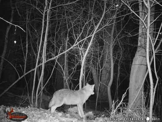 A trailcam captured a coyote near a home in Farmington Hills recently.