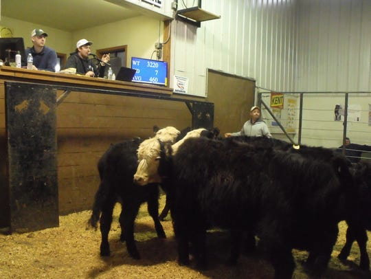 Farmers Livestock's Easter weekend Feeder Cattle auction
