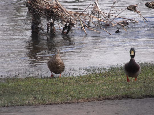While many farmers are not appreciating the flooding, these ducks in Three Rivers, MI thought it was just fine. Visible behind the waterfowl is the flooded grass on the shoreline of the river