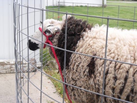 Dottie, a Jacob sheep, greeted attendees as they entered