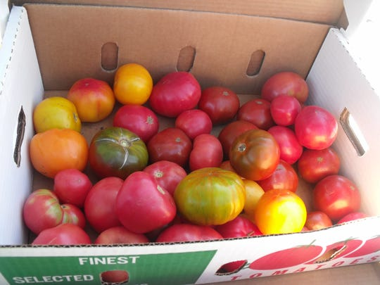 Some CSA organizers allow their participants to come to the farm and choose from harvested produce, such as these tomatoes, for their share.