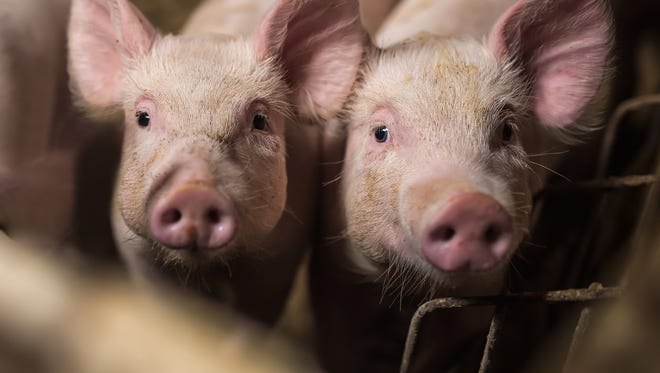 Two pigs looking at the camera.