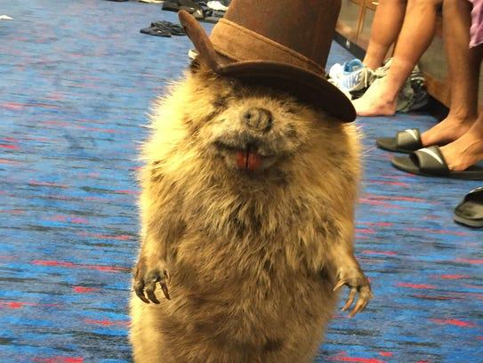 636161556477857570-steve-the-beaver
