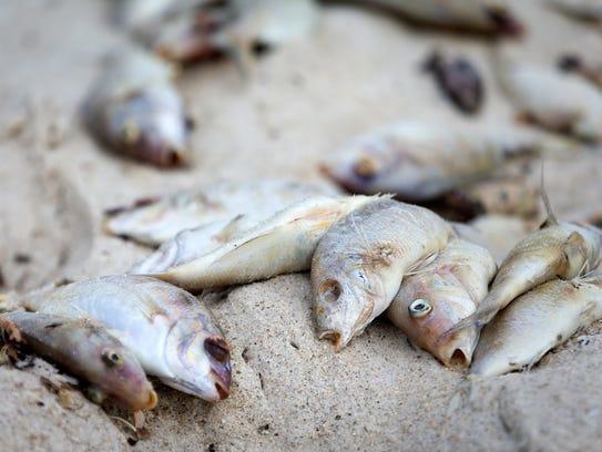 Dead fish litter the beach near the Naples pier on