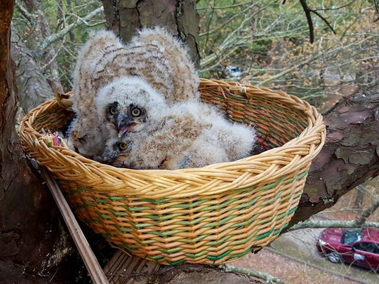 A pair of juvenile great horned owls in Kiptopeke State