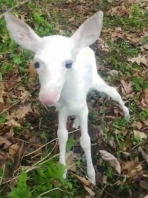 A Baraboo, Wis., man who was hunting May 13, 2018, for morel mushrooms in Sauk County with his dog Maggie encountered a rare white fawn that probably had been born just hours before.