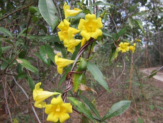 636596587725011802-yellow-jessamine-blooming-photo-by-Karen-Rose.jpg