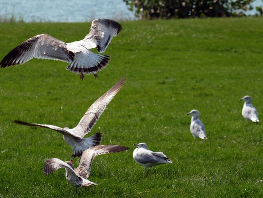 Seagulls on Belle Isle in the Detroit River. Michigan